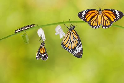 Save Download Preview Transformation of common tiger butterfly emerging from cocoon on twig